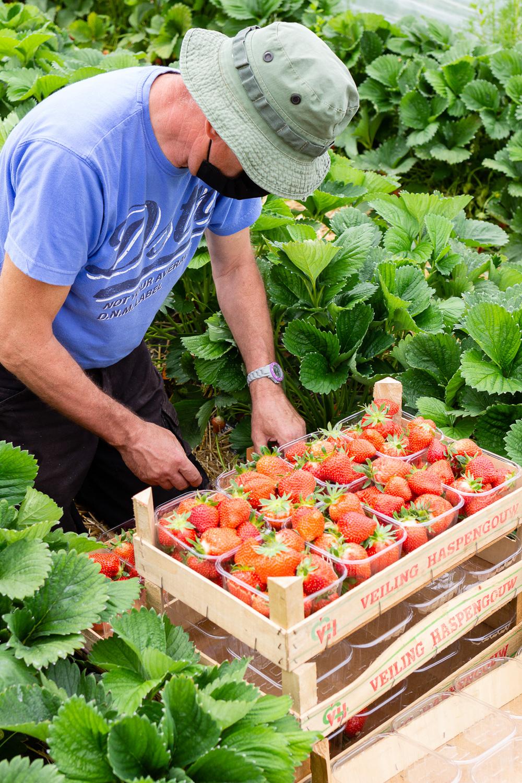 Goûtez les délicieuses fraises d'Eric, producteur à Lincent.